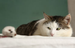 Fat cat look at mouse close up portrait stock photos