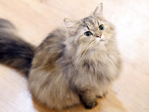 Fat cat looking up at something Royalty Free Stock Images