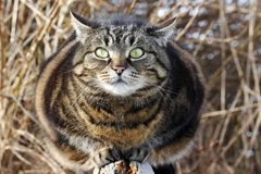 A fat cat looks curious and funny Stock Photos