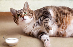 Fat Cat with Milk Stock Images