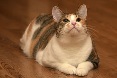 Fat Cat Playing Royalty Free Stock Photos