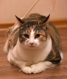 Fat Cat Playing Royalty Free Stock Image