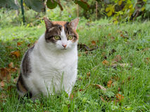 Fat cat. Rather obese domestic moggy in garden. My overweight cat in the garden. She steals the dog biscuits Royalty Free Stock Photography