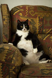 Fat Cat on Recliner Royalty Free Stock Images