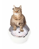 Fat Cat on Scale Royalty Free Stock Image