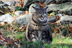 Fat cat sits in autumn in the meadow Royalty Free Stock Photo