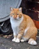 Fat cat. Sitting near a dumpster Royalty Free Stock Photography