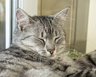 Fat cat sleeping on day time in blur background, fat happy cat close up, kitten resting on day time, fat cat, siesta time, domesti Stock Photo