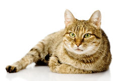Fat cat.  on white background Stock Photography