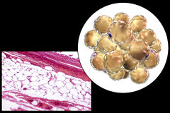 Fat cells, micrograph and 3D illustration Stock Image