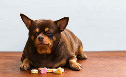 Fat Chihuahua dog bored of face, sitting on the desk. It's went eating milk snack for pet stock image
