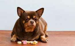 Fat Chihuahua dog bored of face, sitting on the desk. It's went eating milk snack for pet Stock Photography