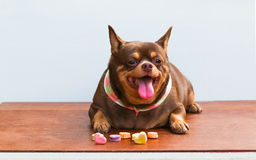 Fat Chihuahua dog, sitting on the desk. It's went eating milk snack for pet Stock Images
