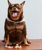 Fat Chihuahua dog, sitting on the desk. It's went eating milk snack for pet stock photo