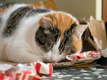 Fat Christmas cat sleeping off her Christmas dinner in the wrappi Stock Photo