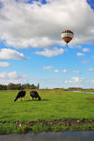 Fat cows grazing. In cloudy sky flying balloon Royalty Free Stock Images