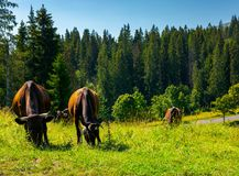 Fat cows grazing on a meadow among the forest. Fat cows grazing on a meadow among the spruce forest. lovely rural scenery of Carpathian mountains Royalty Free Stock Image