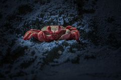Red crab on blue sand colored. Fat crab in nature environment colored in red Royalty Free Stock Photos
