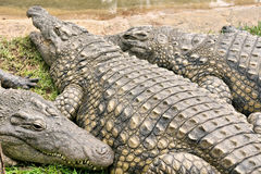 Fat crocodile with friends Stock Image