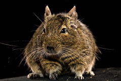 Fat degu hamster Stock Photo