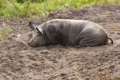 Fat dirty pig Stock Photo