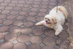 Fat dog on a floor.  royalty free stock photos