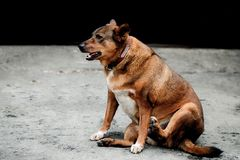 Fat dog sitting on the concrete floor. A domestic fat dog sitting and looking forward to something on rough concrete floor in selective focus royalty free stock images