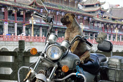 A fat dog sitting on a motorcycle Royalty Free Stock Photos