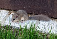 Fat dormouse. Edible dormouse, sitting on granite stones in a garden Royalty Free Stock Images