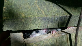 Fat dormouse peeping from its nesting-box Royalty Free Stock Photo
