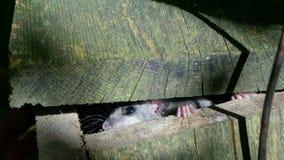 Fat dormouse peeping from its nesting-box Royalty Free Stock Photo