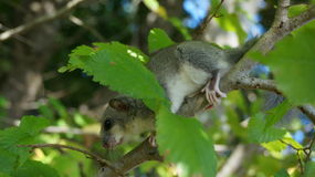 Fat dormouse on a tree branch. Fat dormouse, or edible dormouse (glis glis) cub on a tree in its natural habitat Stock Photo