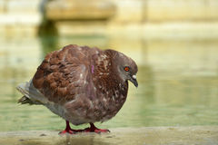 Fat dove near water. Close up photo of a fat big dove near a fountain Royalty Free Stock Photography