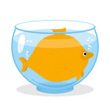 Fat fish in aquarium. Fat marine animal. Big goldfish. Fat fish in aquarium.  Fat marine animal. Big goldfish Royalty Free Stock Image