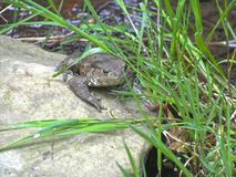 Fat flat toad oon a stone near water royalty free stock images