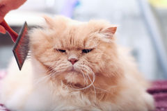 Fat fluffy cat. And a comb Stock Photos