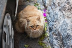 Fat and fluffy red cat with green eyes sitting on the ground Royalty Free Stock Photography