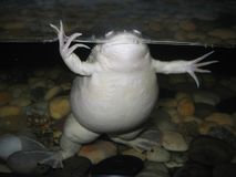 Fat Frog. In tank Stock Photography
