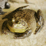 Fat Frog. A green frog with a nuetral background royalty free stock photos