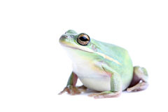 Fat frog isolated. Fat green tree frog - closeup, isolated on white Stock Photo
