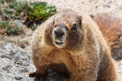 Fat Fuzzy Marmot Climbing on a Rock Royalty Free Stock Photo
