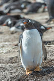 Fat Gentoo penguin. Royalty Free Stock Images