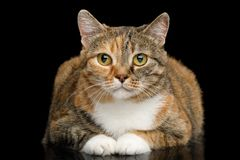 Fat Ginger Calico Cat on Isolated Black Background. Fat Ginger Calico Cat Lying and Looks Cute on Isolated Black Background, front view royalty free stock image