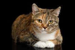 Fat Ginger Calico Cat on Isolated Black Background. Fat Ginger Calico Cat Lying and Looks Shy on Isolated Black Background, front view Royalty Free Stock Photo