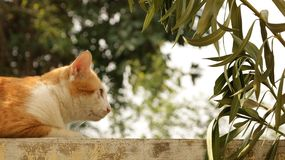 Fat Ginger Cat Sitting on Wall in Garden royalty free stock images