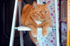 Fat ginger cat on the stepladder, a big ginger cat in the green collar looking to the side Royalty Free Stock Photos