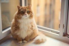 Fat ginger cat Stock Photos