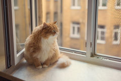 Fat ginger cat Royalty Free Stock Photos
