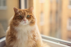 Fat ginger cat Stock Image