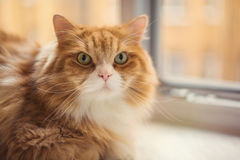 Fat ginger cat Royalty Free Stock Image